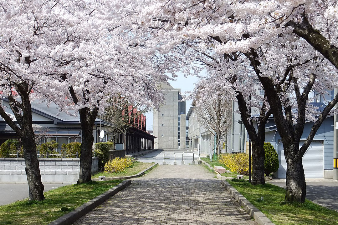 Akita University with cherry blossoms blooming